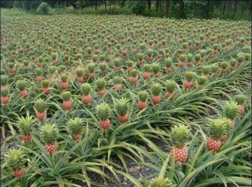 Jak rosną ananasy?! – Cztery Krańce Świata