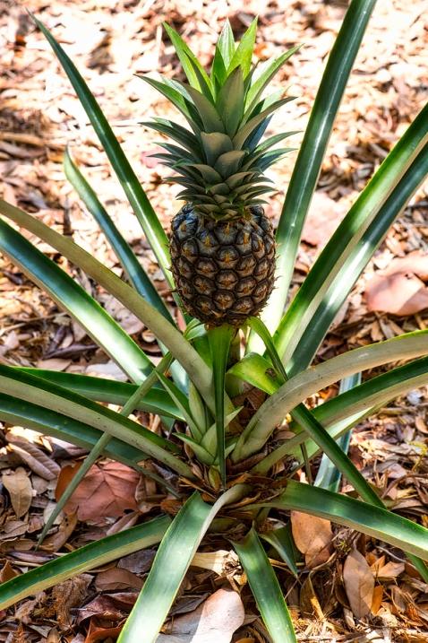 ananas4_HDR